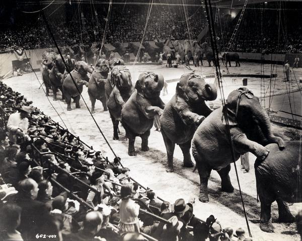 A group of over twenty-six Ringling Brothers, Barnum & Bailey Circus elephants, standing on their rear legs with front legs resting on the elephant ahead.