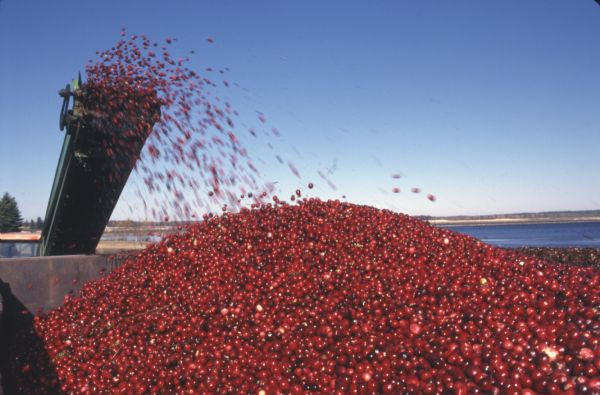 Cranberries are shooting off a conveyor belt into a truck.