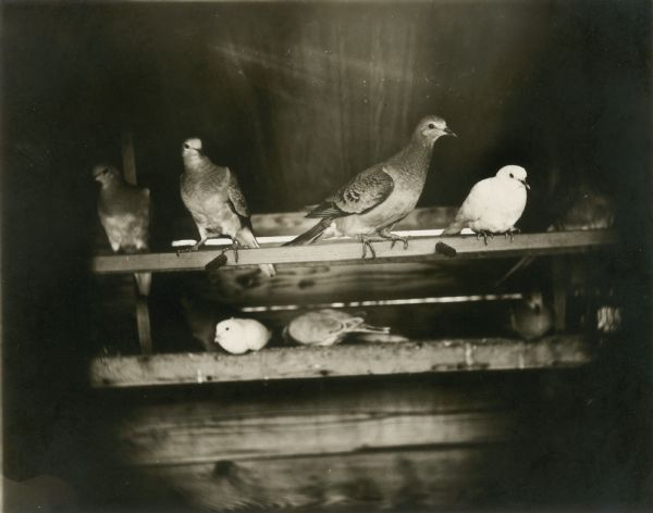 Seven passenger pigeons in an aviary at University of Chicago.