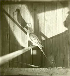 Profile view of a passenger pigeon, a species of pigeon now extinct, with its shadow projected on the wall of the cage behind.