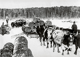 Lumberjacks hauling logs in the snow with several teams of oxen.