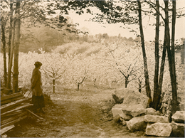 Silhouette of a woman looking at a hill of blooming cherry trees.