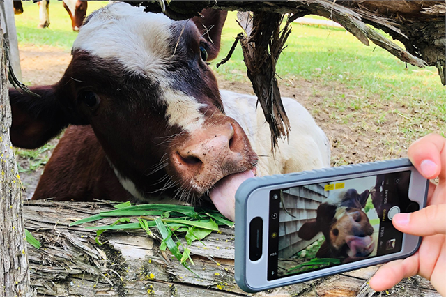 Photo of a cellphone taking a photo of a cow licking it's nose