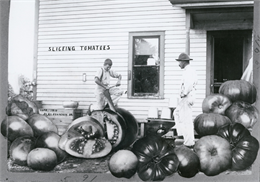 One man attempts to slice oversized tomatoes with a large hand saw typically used for cutting trees as another man watches from the side.