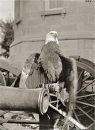 Old Abe, the eagle mascot of the 8th Wisconsin Infantry, posed on a cannon with the third Wisconsin State Capitol in the background.