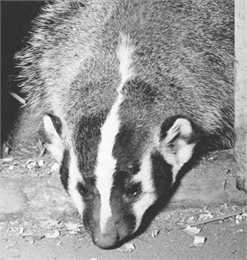 Close up image of a badger.