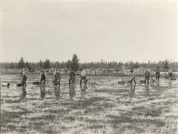 Black and white photo of cranberry harvesters using cranberry rakes make their way across a flooded cranberry bog.